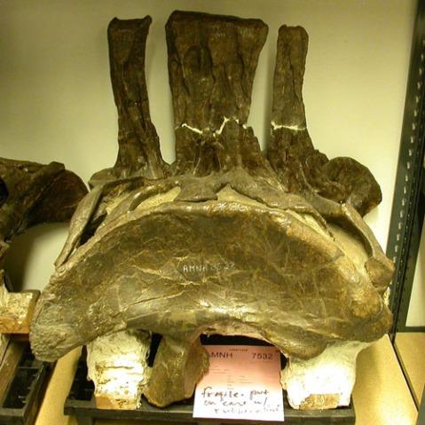 amnh-diplodocus-500.jpg