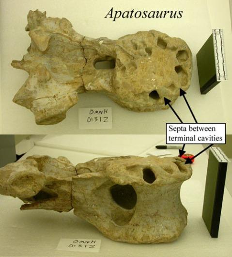 apatosaurus-omnh-500.jpg