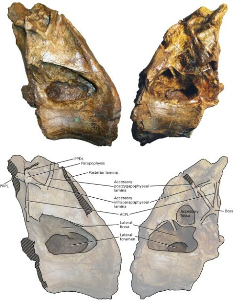 Xenoposeidon holotype vertebra BMNH R2095 in left and right lateral views