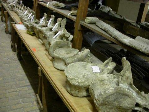 Nearly complete tail of Brachiosaurus brancai