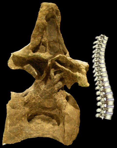 Brachiosaurus altithorax FMNH P25105, presacral 5, right lateral