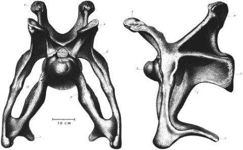 Ostrom and McIntosh (1966:plate 12) -- Brontosaurus excelsus YPM 1980 cervical 8