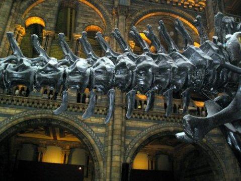 NHM Diplodocus caudals