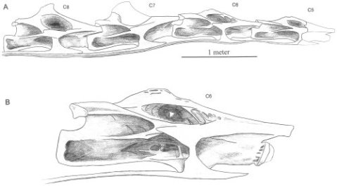 Sauroposeidon cervical vertebrae. A, C5-C8; B, C6