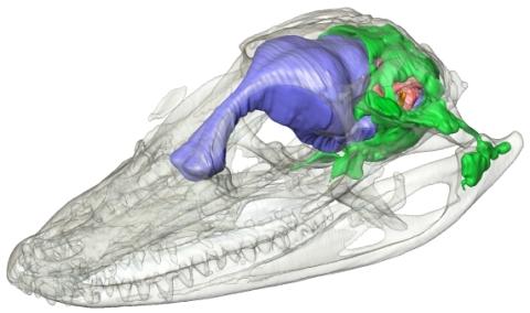 http://svpow.files.wordpress.com/2008/12/alligator-paratympanic-sinuses.jpg?w=480&h=284
