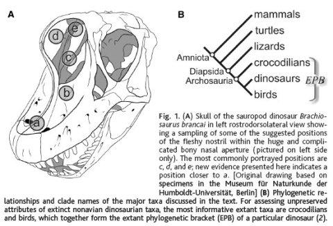 brachiosaurus-nostrils-from-witmer-2001