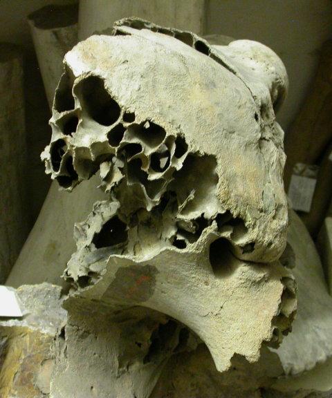 exploded-proboscidean-skull-480