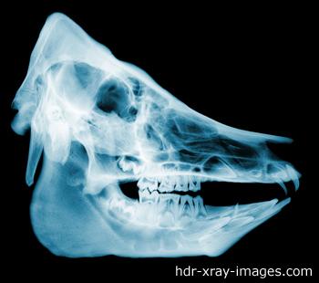 pig-skull-x-ray