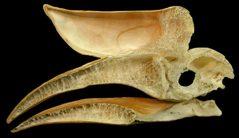 Sectioned skull of a rhinoceros hornbill. Photo from http://svpow.com