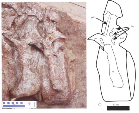 dongyanosaurus_caudals_lu_et_al_2008