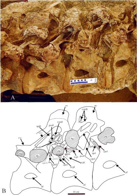 plate 1) -- Donyangosaurus dorsals