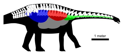 Fig. 10. The air sacs of Haplocanthosaurus. Preserved elements of CM 879 are shown in right lateral view. The cervical and anterior dorsal vertebrae were pneumatized by diverticula of cervical air sacs (green). Middle dorsal vertebrae were pneumatized by diverticula of the lung (red). Diverticula of the abdominal air sac (blue) pneumatized the posterior dorsal, sacral, and first caudal vertebrae. Other air sacs may have been present (gray), but their presence is not detectable from the preserved elements.