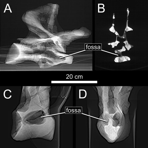 Fig. 6. Pneumatization of the presacral vertebrae in Haplocanthosaurus. (A) X-ray image of a posterior cervical vertebra of CM 879 in right lateral view. (B) A CT slice through the same vertebra. (C) X-ray image of an anterior dorsal vertebra of CM 572 in left lateral view. (D) X-ray image of the same vertebra in anterior view. All of the preserved presacral vertebrae of both specimens have large, sharp-lipped fossae that penetrate to a narrow median septum.
