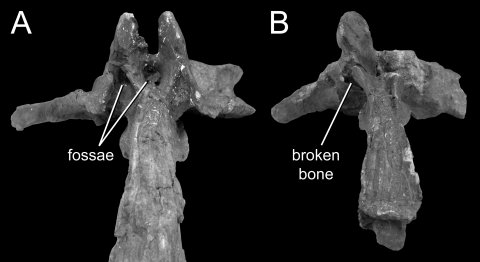 Fig. 9. Anterior caudal vertebrae of Haplocanthosaurus CM 879 in dorsal view. (A) The first caudal vertebra. (B) The second caudal vertebra.