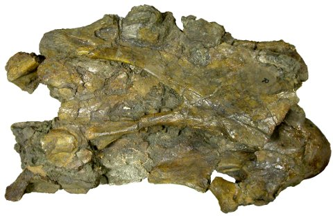 "Tendaguru brachiosaurid BMNH R5937, ""The Archbishop"", cervical U in right lateral view.  Copyright the Natural History Museum, since it's their material."