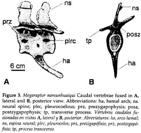 Calvo et al. (2004: fig. 5). Caudal vertebrae of Megaraptor with co-ossified chevron