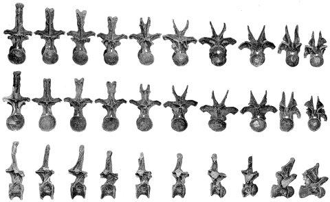 hatcher1901-plate-xiii-diplodocus-carnegii-dorsals-480px