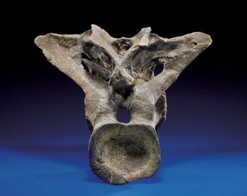 "Alleged ""Diplodocus dorsal bone"", posterior view"