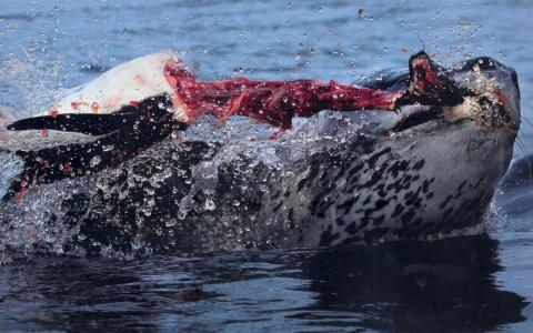 Leopard seal PULLING THE HEAD RIGHT OFF a penguin