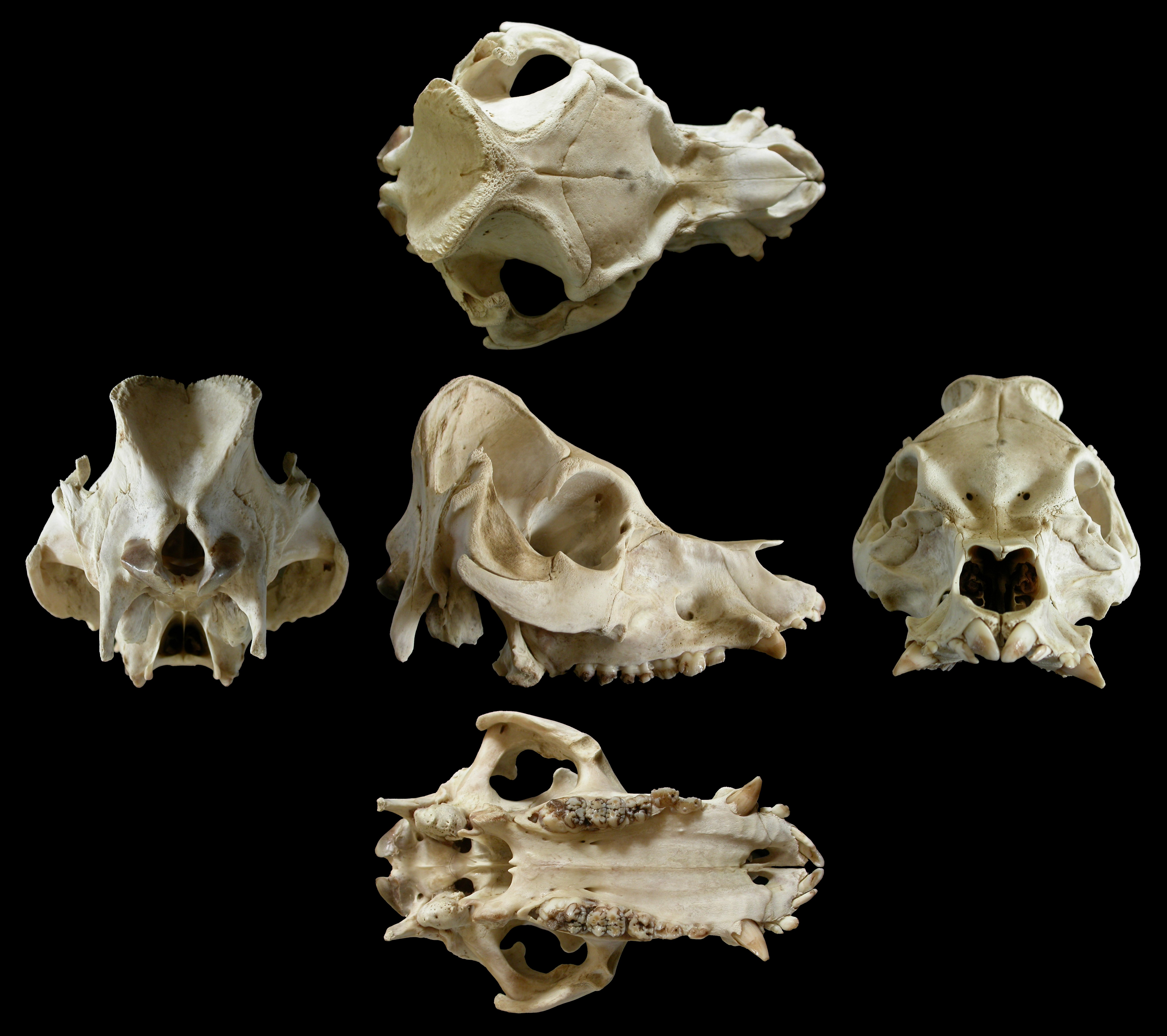 Things to Make and Do, part 1: Pig Skull (off-topic ...