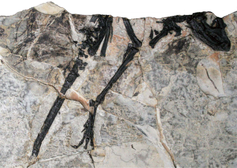 The holotype of <i>Tianyulong</i> (Zheng et al. 2009:fig. 1a)
