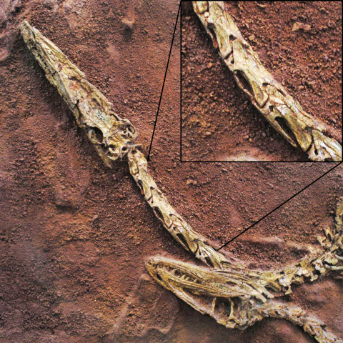 Pneumatic fossae in the cervical vertebrae of Coelophysis