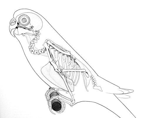 Budgie skeleton 480