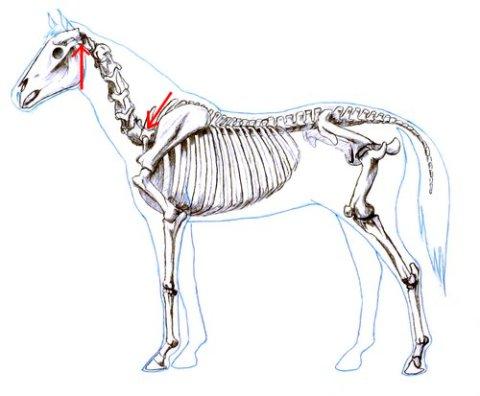 horse neck 2