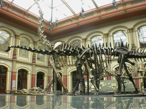 Two sauropod neck postures for the price of one: Diplodocus (foreground, low neck) and Brachiosaurus (background, high neck) at the Humboldt Museum fur Naturkunde, Berlin.
