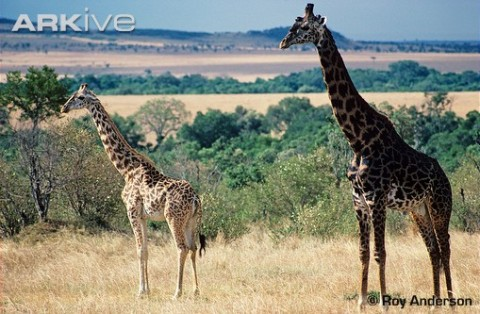 Male-masai-giraffe-right-and-juvenile---showing-colour-variation