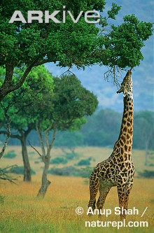 Masai-giraffe-feeding-from-tall-tree