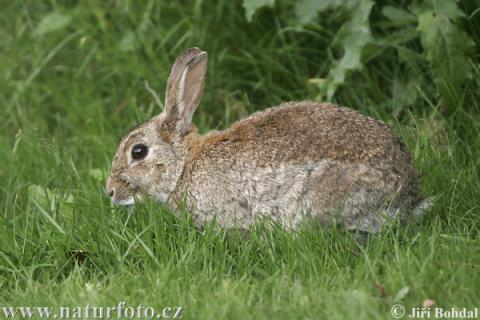 wild-rabbit-41946-480px