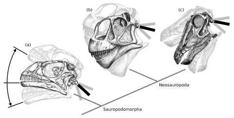 Sauropodomorph head figure redone 480