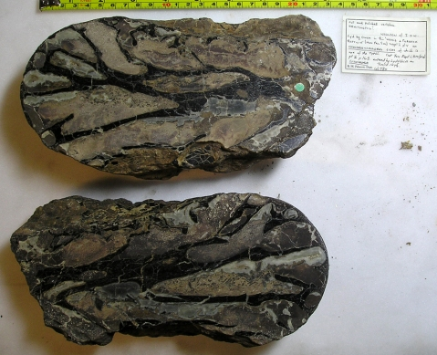 Chondrosteosaurus_R46870_resized