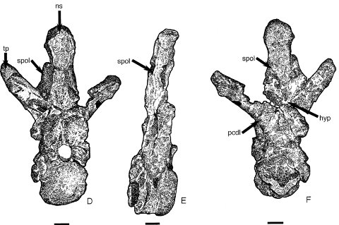 Cetiosaurus oxoniensis dorsal vertebra in anterior, right lateral and posterior views.  From Upchurch and Martin (2002:fig 5)