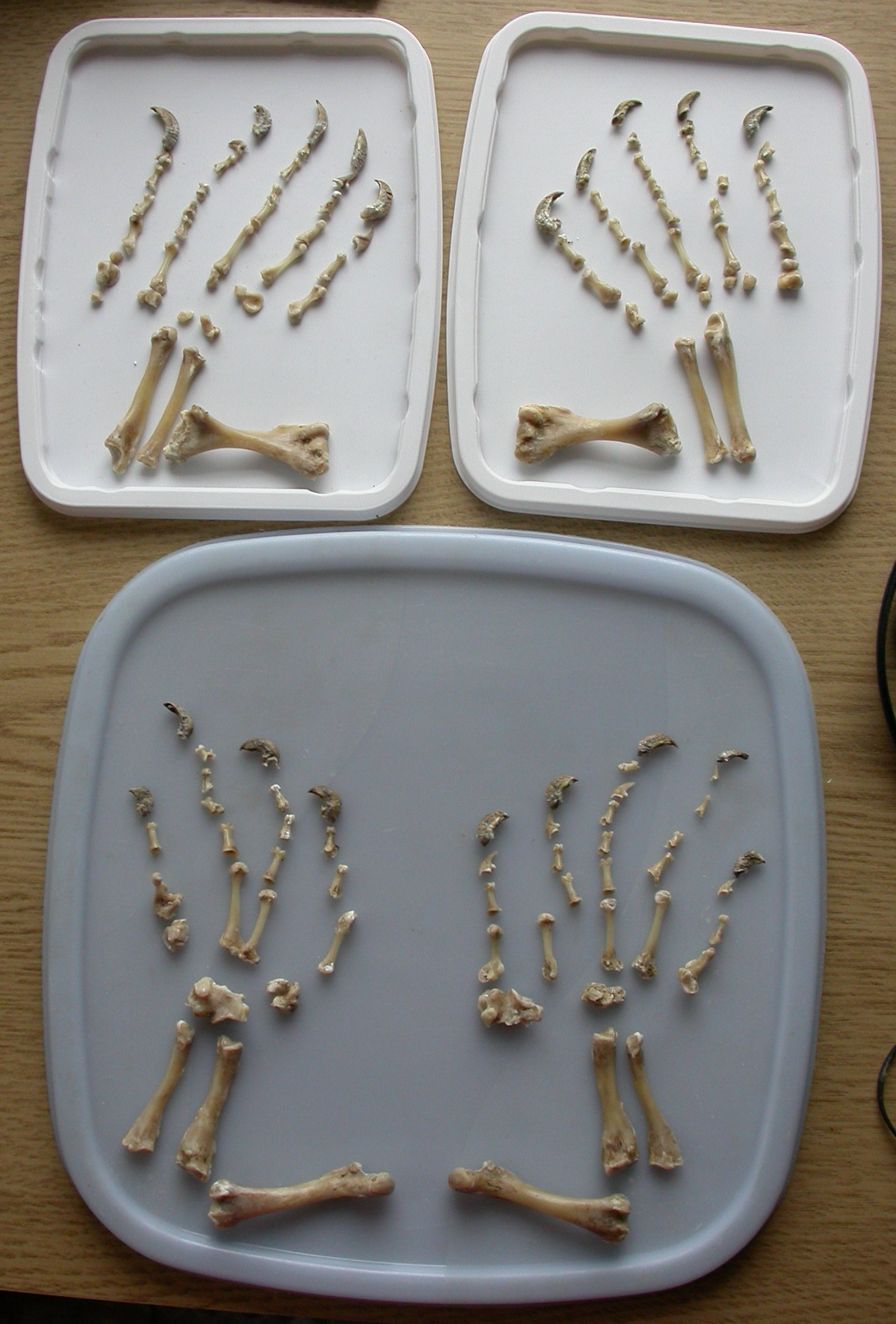 Bird Foot Skeleton