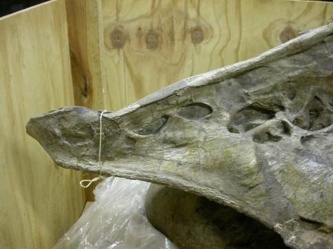 """Brachiosaurus"" brancai lectotype HMN SII, 8th cervical vertebra, left prezygapophyseal ramus in left lateral view."