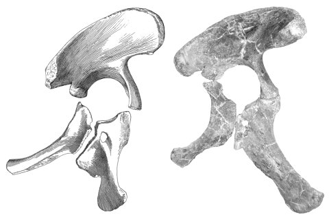 "Right pelvis of ""Brachiosaurus"" brancai (left), based on composite of Janensch's (1961) figures, and Qiaowanlong (from You and Li 2009: fig. 3a).  Scaled to same ilium length."