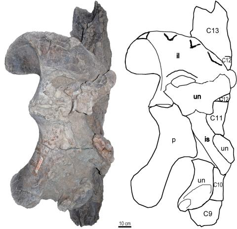 Qiaowanlong fossil block, partly prepared, showing articulated right pelvis in anteromedial view