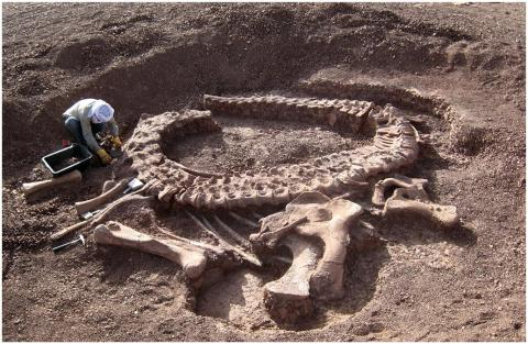 Spinophorosaurus nigerensis, holotype skeleton GCP-CV-4229 in situ during excavation in the region of Aderbissinat, Thirozerine Dept., Agadez Region, Republic of Niger (Remes et al. 2009:fig. 1)