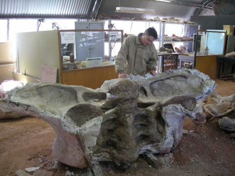 Articulated pelvis (sacrum and ilia) of Futalognkosaurus, in ventral view. Juan Porfiri (175 cm high) for scale. Courtesy of Jorge Calvo