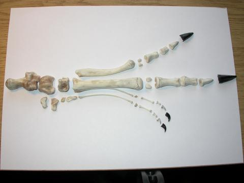 2009-11-06b-disarticulated-left-pes-in-dorsal-view-DSCN7419-and-a-half