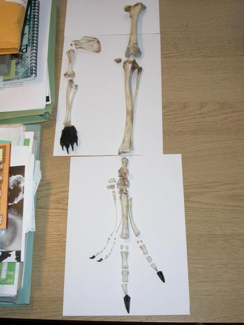 2009-11-06c-disarticulated-left-hindlimb-in-dorsal-view-DSCN7424