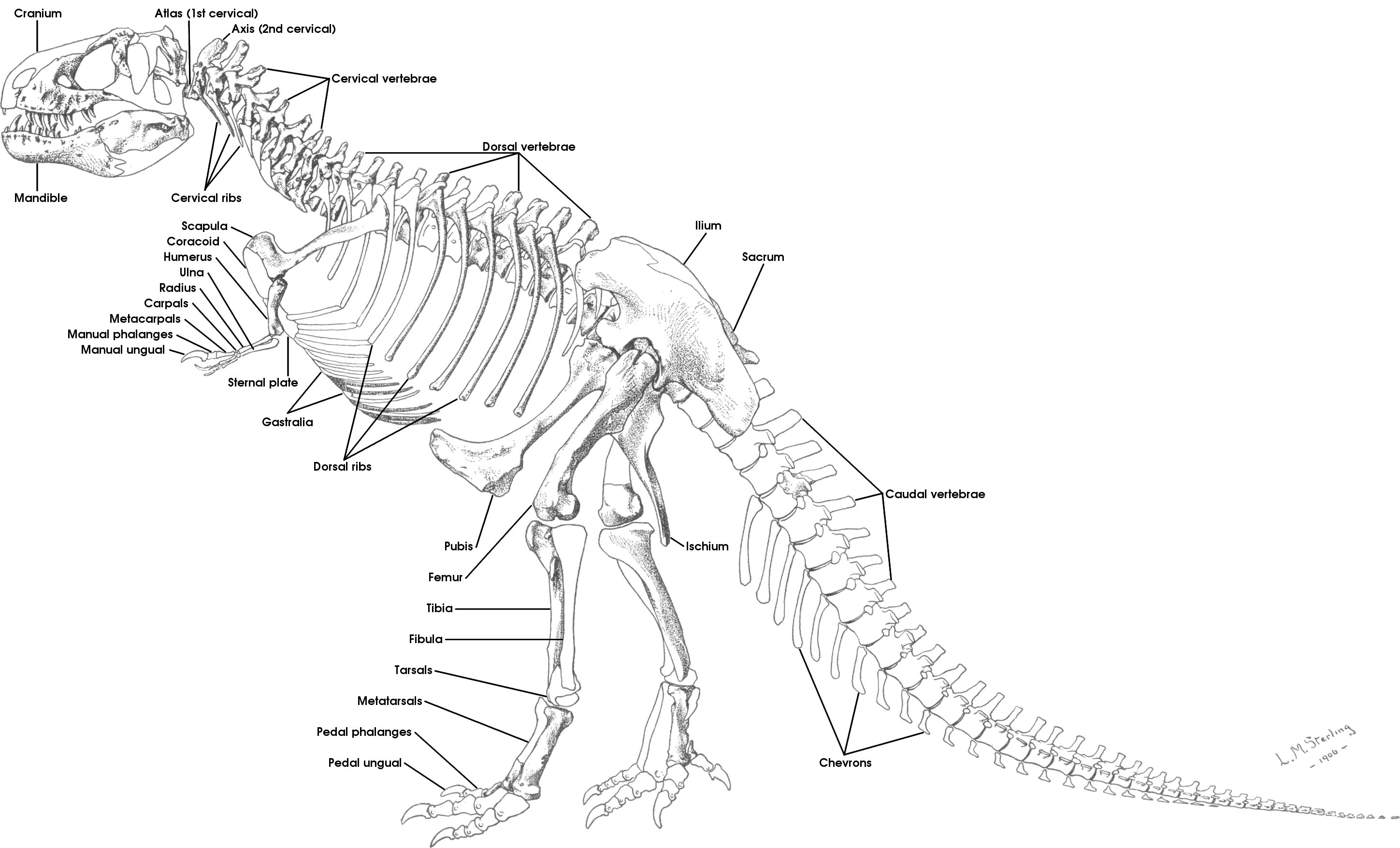 tutorial 15b the bones of the theropod skeleton sauropod