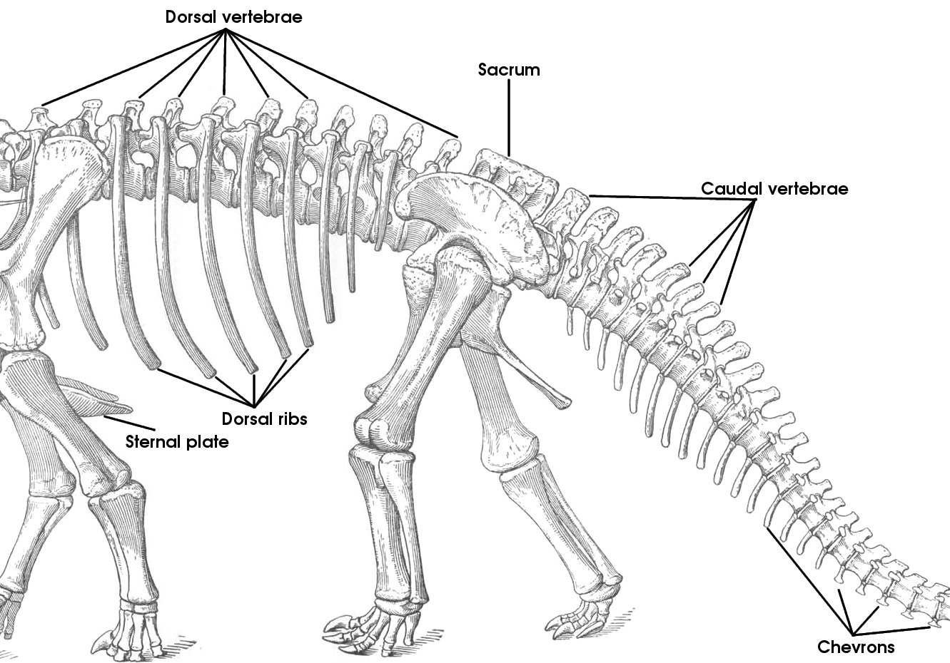 GEOL 104 Our Bodies, Our Selves: Introduction to Vertebrate Osteology