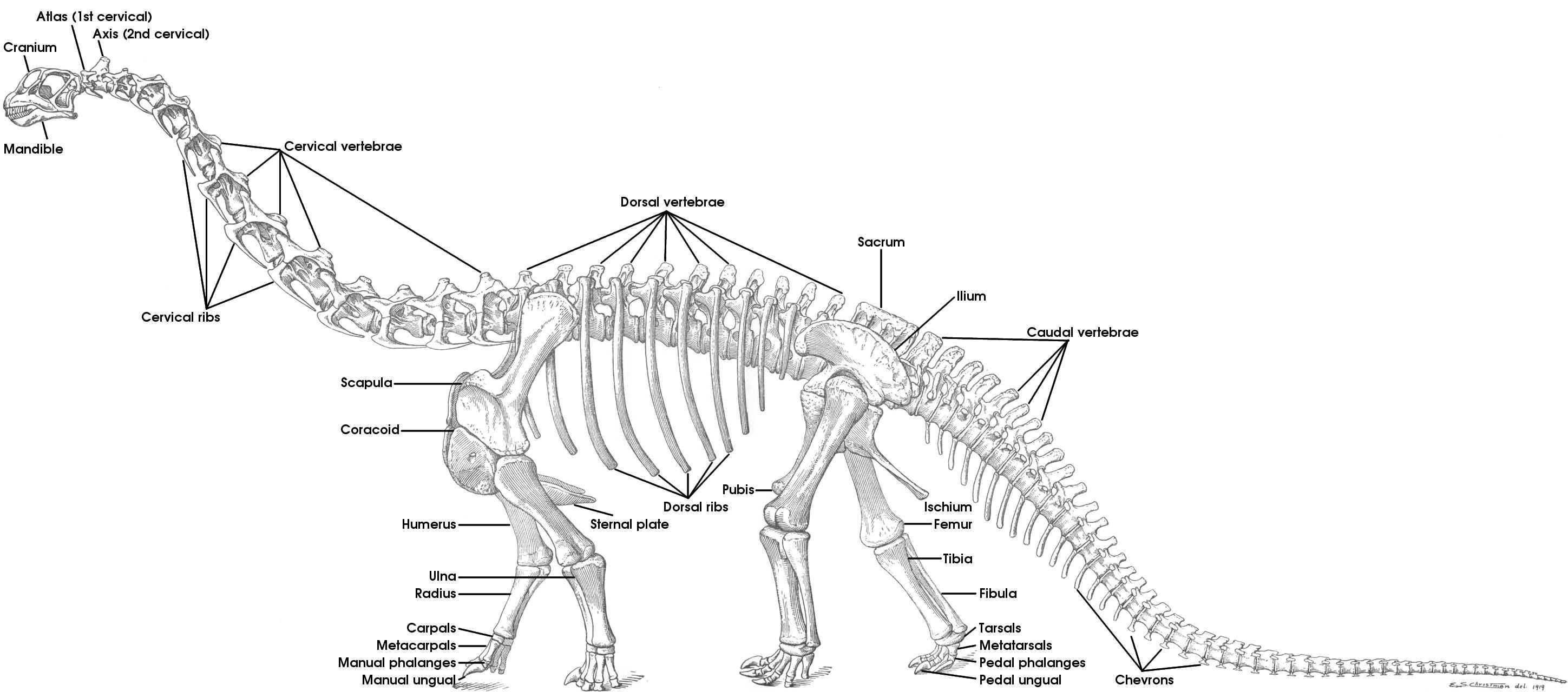 Dinosaur Skeleton Labeled