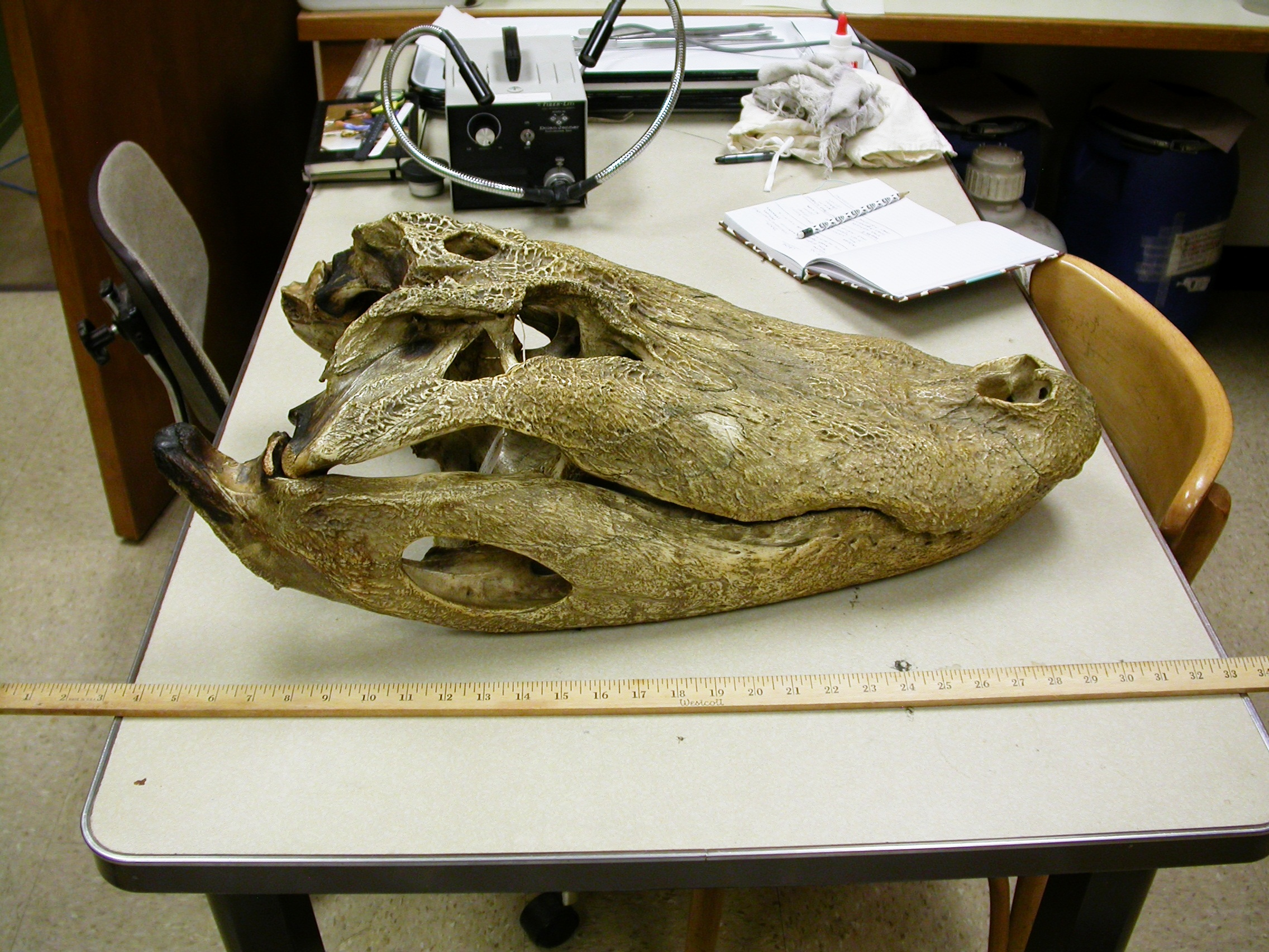 On display this weekend: LACM\'s monster alligator   Sauropod ...