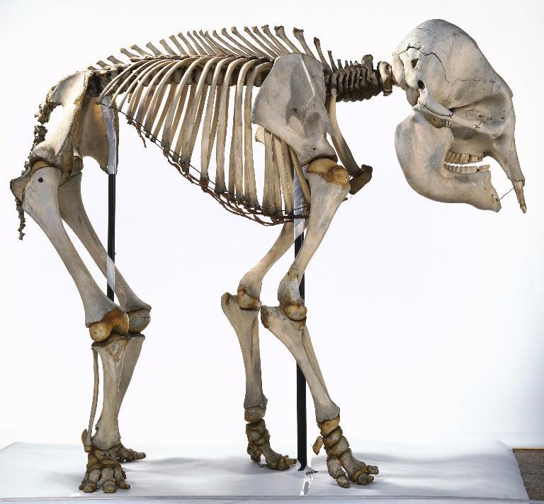 Elephant Sauropod Vertebra Picture Of The Week