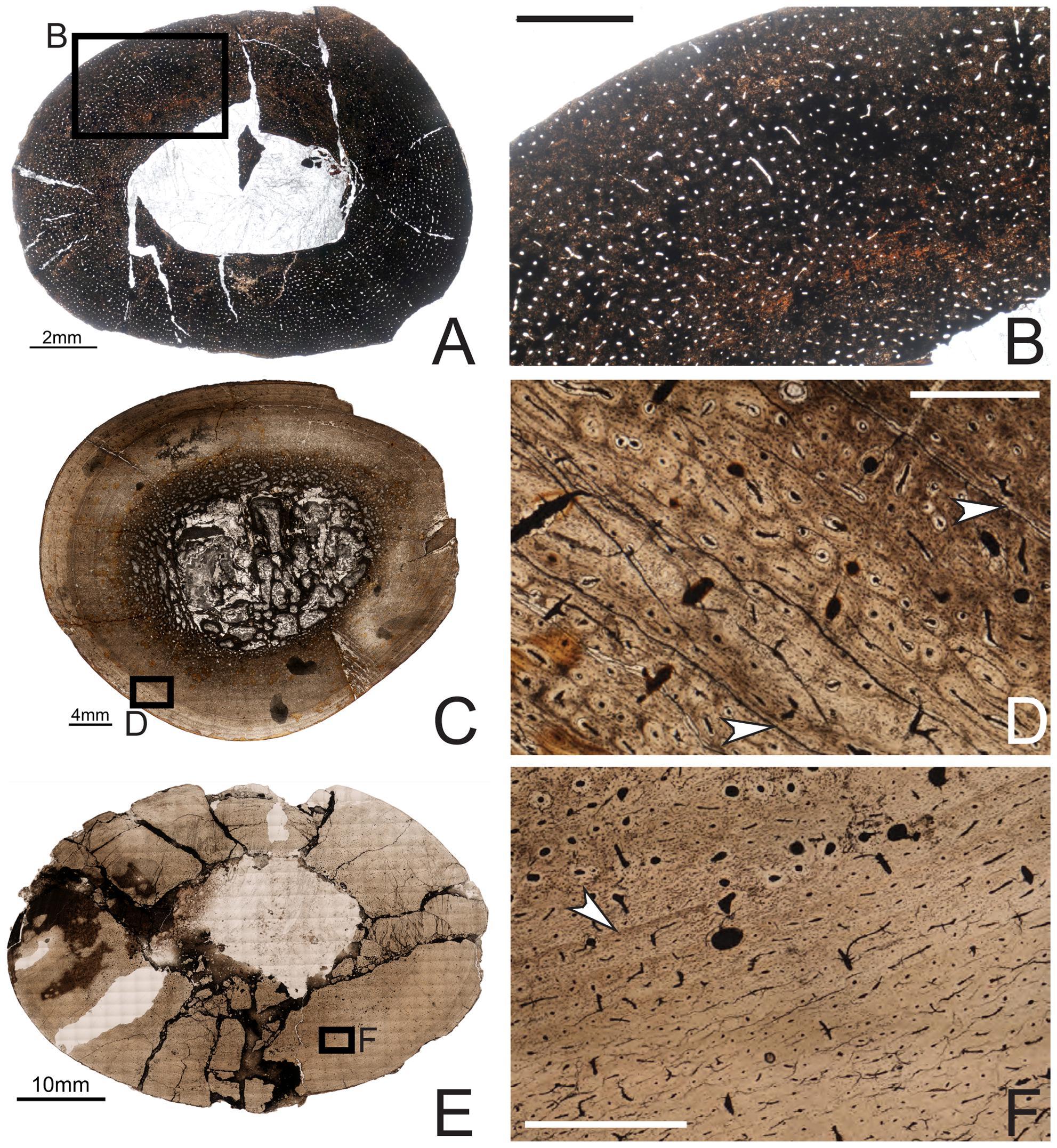 Histology Sauropod Vertebra Picture Of The Week