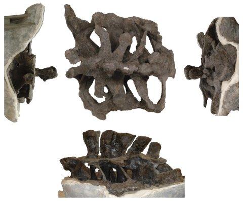 Brachiosaurus altithorax FMNH P25107 sacrum, from photos by Phil Mannion